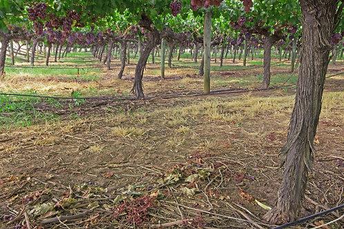 Under Wine Trees View