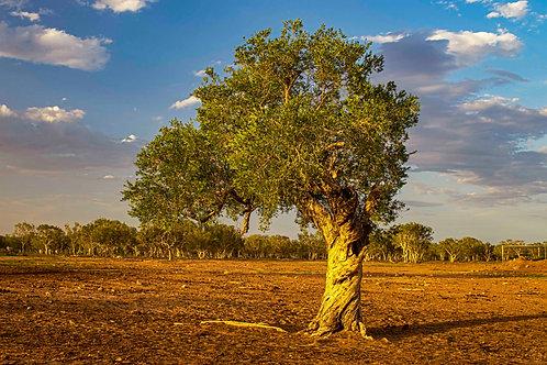 Paperbark Tree