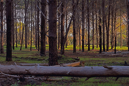 Pine Forest Calm Reserve