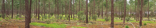 Baskin Grove Pine Forrest