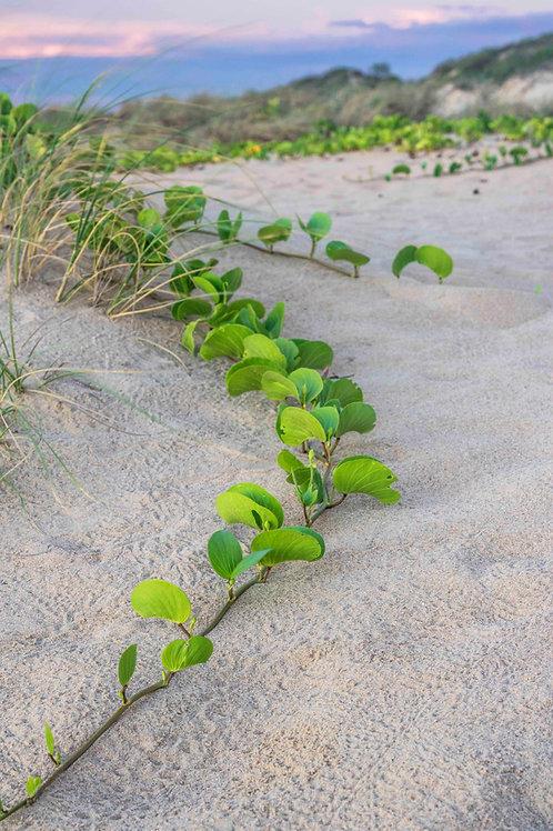 Cable Beach Dunes Plant