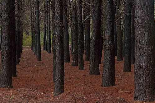 Mundaring Pine Forest
