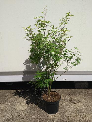 Acer palm. 'Sango-Kaku'