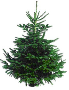 Abies Nordmanniana - CUT Christmas Tree