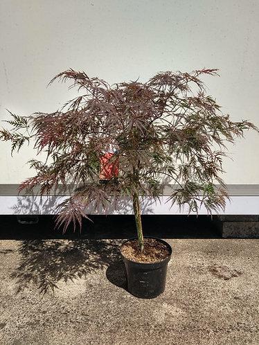 Acer palm. 'Dissectum Garnet'