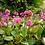 Thumbnail: Bergenia Cordifolia Eroica