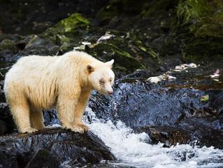 Historic Deal Saves Great Bear Rainforest