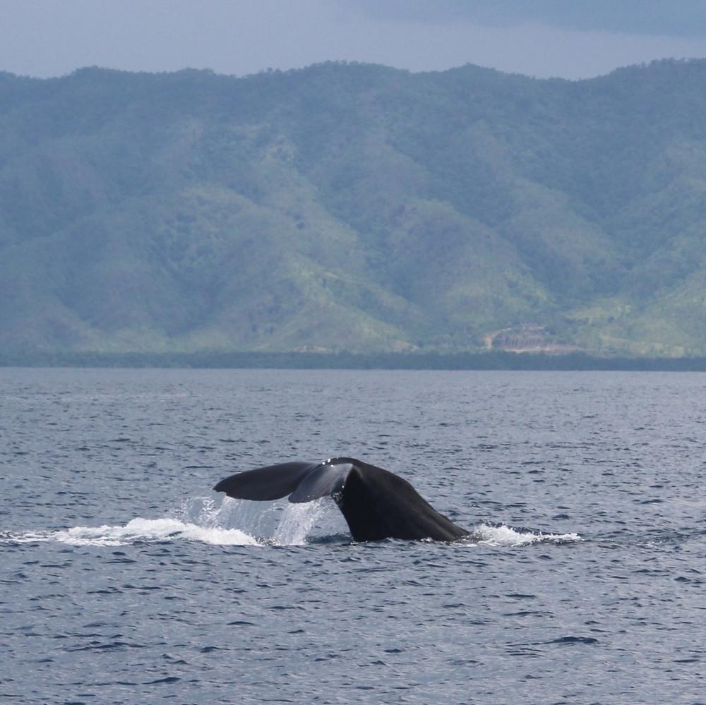 Sperm whale fluking off Timor-Leste