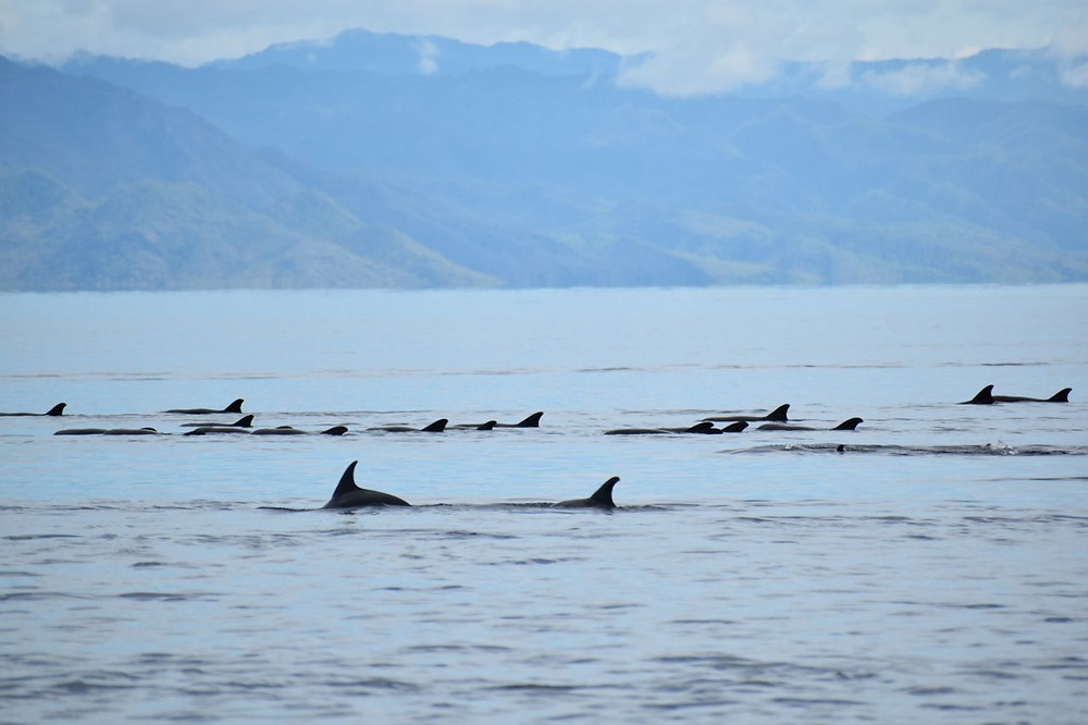 Pod of dolphins off Atauro Island