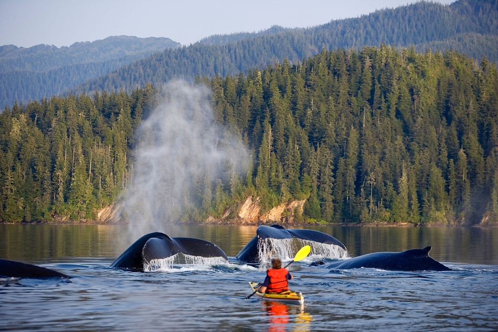 Sea-kayaking with humpback whales in Alaska