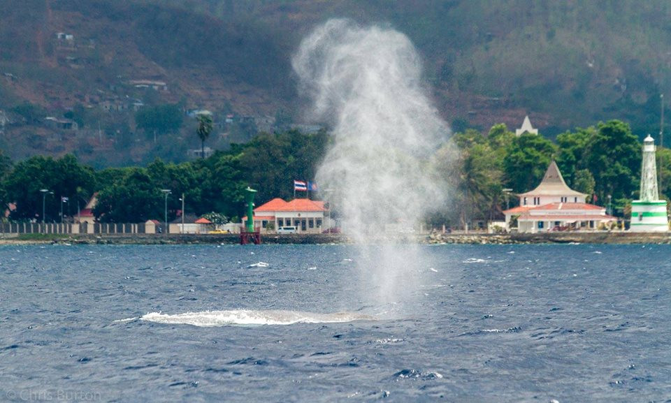 Blue whale 'blowing' off Dili, Timor-Leste