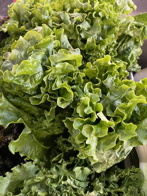 Green Leaf Lettuce - head