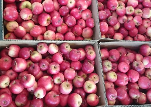 organic apples red splendour