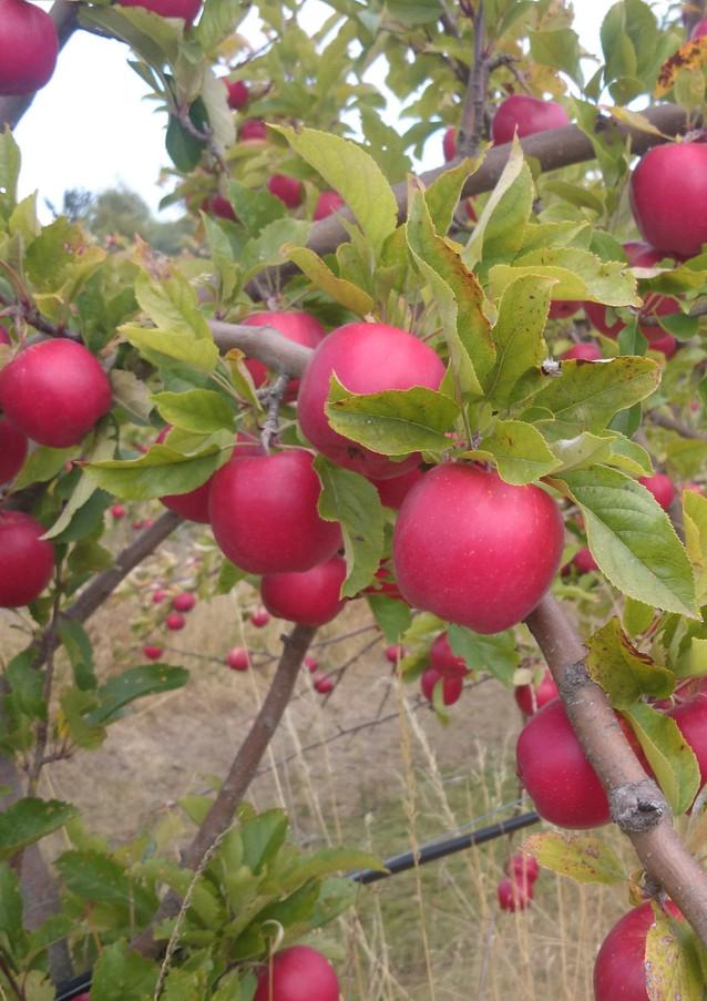 red splendour apples