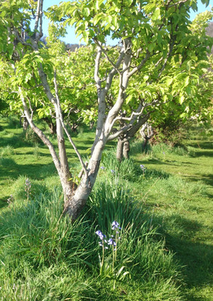 pear trees with bluebells