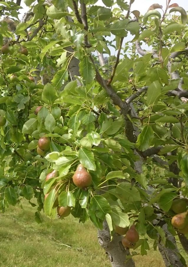 organic buerre bosc pears
