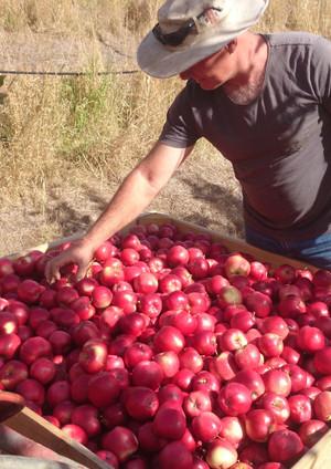 sorting apples