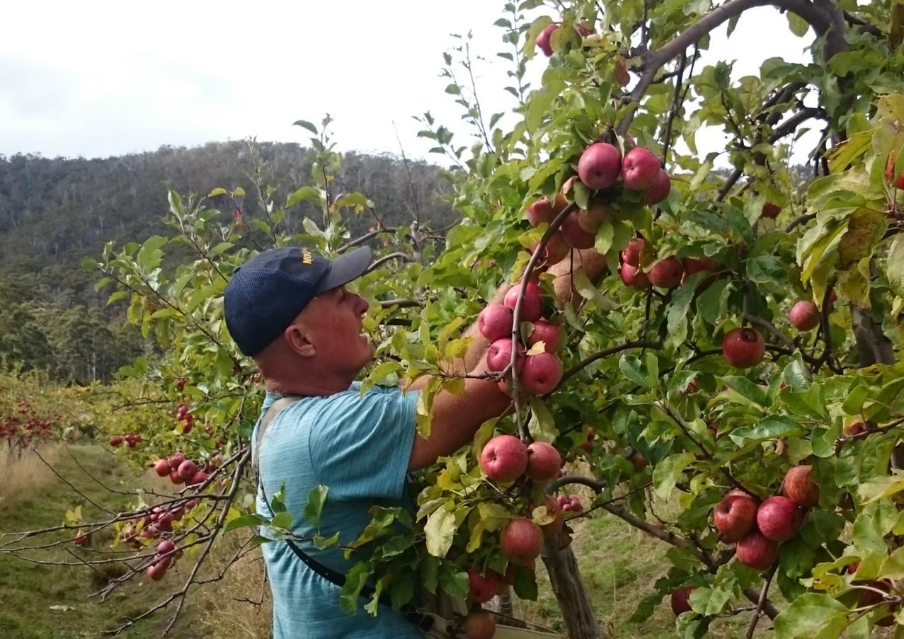 Darren picking apples