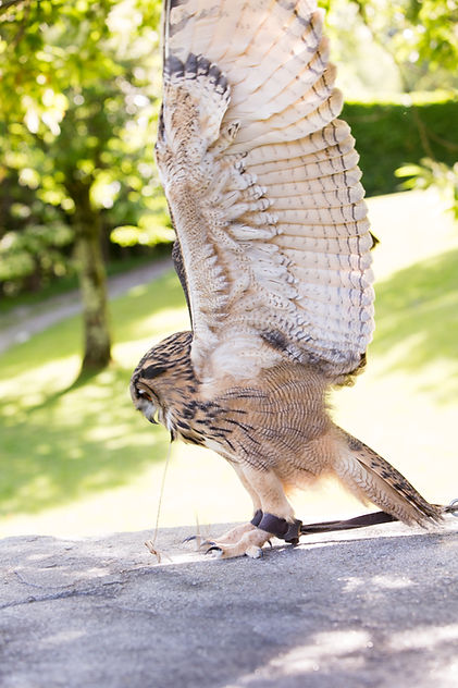 gufo reale europeo,falconeria didattica como,falconeria,rapaci,