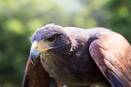poiana di harris,uscite didattiche scuole,falconeria didattica como,i falconieri del feudo