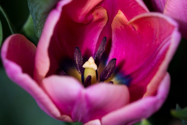 Macro Shot of a Purple Tulip