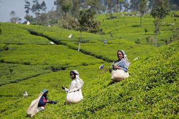 Handunugoda Tea Plantation