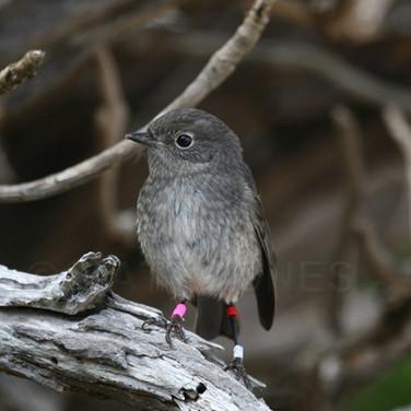 Stewart Island Robin (juvenile)