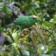 Orange-fronted Parakeet / Malherbe's Parakeet