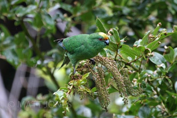Orange-fronted Parakeet / Malherbe's Parakeet Cyanoramphus malherbi