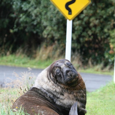New Zealand Sealion - male