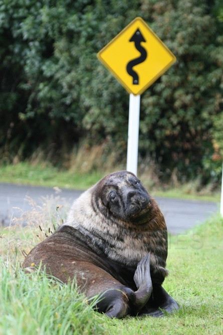 New Zealand Sealion beside the road, Stewart Island