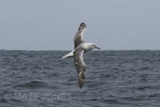 White-capped Albatross (partially leucistic)