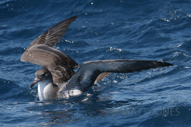 Pink-footed Shearwater - New Zealand's ninth record of this bird