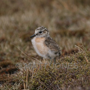 New Zealand Dotterel (Southern) chick