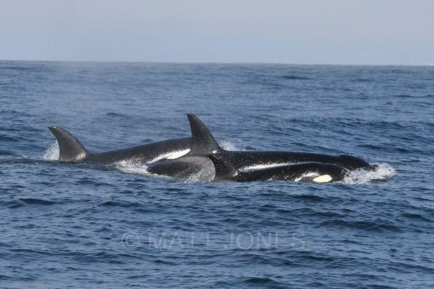 Orca at Monterey, California - USA