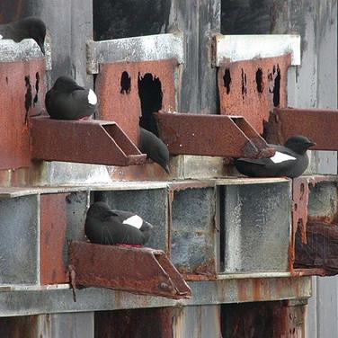 Black Guillemots