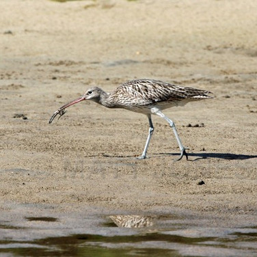 Far Eastern Curlew (first for Stewart Island)