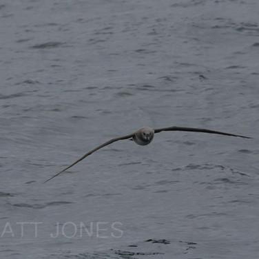 Grey-headed Albatross (juvenile)