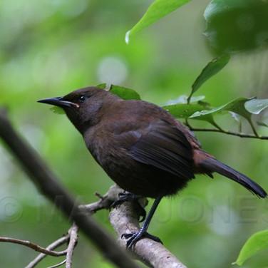 South Island Saddleback (juvenile)