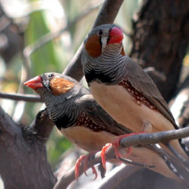 Zebra Finches (male)