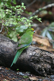 Yellow-crowned Parakeet