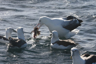 Southern Royal Albatross and White-capped Albatross