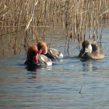 Red-Crested Pochards