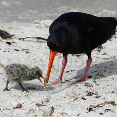 Variable Oystercatcher & chick