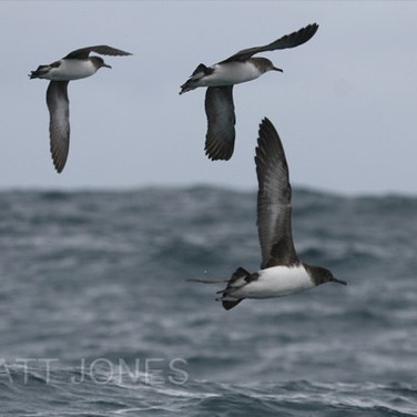 Hutton's Shearwaters