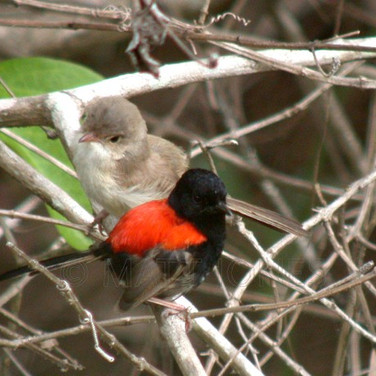 Red-Backed Fairy Wrens