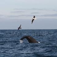 Sperm Whale, Royal Albatross & Northern Giant Petrel