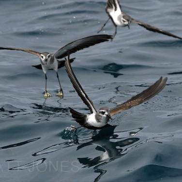White-faced Storm-petrels