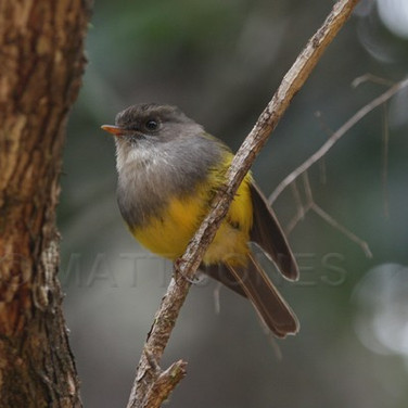 Yellow-bellied Flyrobin