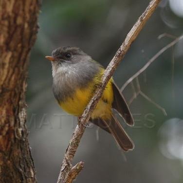 Yellow-bellied Flyrobin